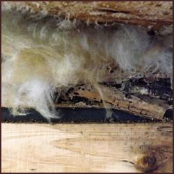シロアリ被害の手がかりとなる羽アリの特徴